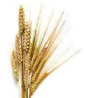 Energiegetreide - Getreidesorten