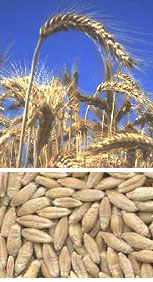Triticale - Getreidekreuzung